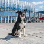 Талисман аэропорта Симферополь собака Алиса провела первые 100 дней на службе